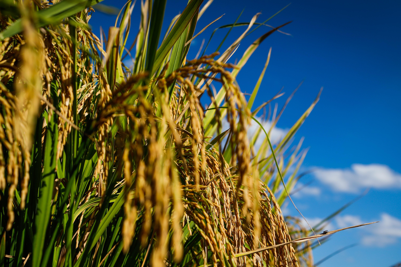 A área plantada total de arroz no Estado deve crescer 7,1%, chegando a 24,2 mil hectares (Reprodução / Goiás Agora)